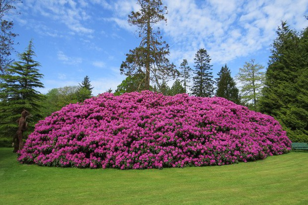 Tròn mắt ngắm nhìn cây hoa đỗ quyên hơn 120 tuổi khổng lồ nhất thế giới, có thể nuốt chửng cả vài trăm người cùng một lúc - Ảnh 4.