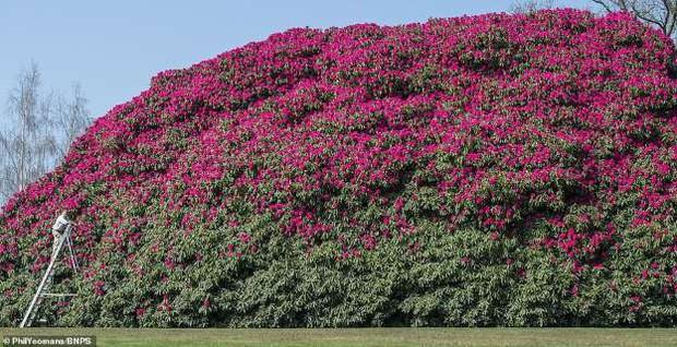 Tròn mắt ngắm nhìn cây hoa đỗ quyên hơn 120 tuổi khổng lồ nhất thế giới, có thể nuốt chửng cả vài trăm người cùng một lúc - Ảnh 5.