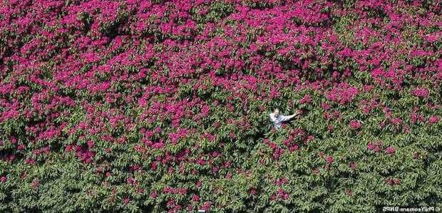 Tròn mắt ngắm nhìn cây hoa đỗ quyên hơn 120 tuổi khổng lồ nhất thế giới, có thể nuốt chửng cả vài trăm người cùng một lúc - Ảnh 6.