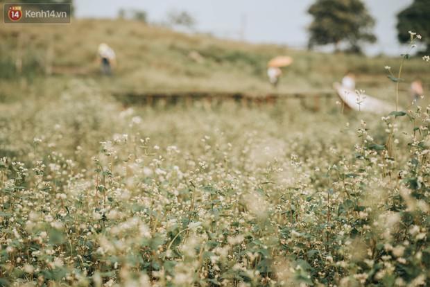 Chẳng cần lên tận Hà Giang vì Hà Nội cũng đang có cánh đồng tam giác mạch ngút ngàn, nhìn thôi cũng đủ mát cả lòng - Ảnh 6.