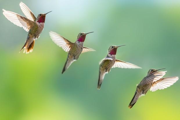 Được cảnh sát cho ở nhờ 2 tháng, chú chim ruồi quen hơi nên mùa xuân nào cũng vượt dặm trường tìm gặp ân nhân - Ảnh 3.