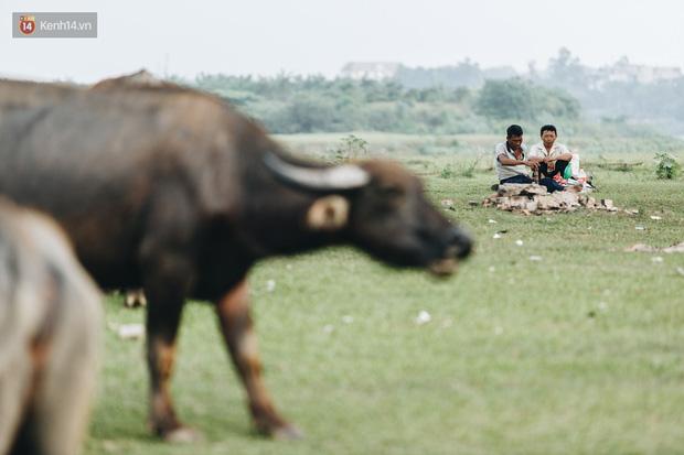 Cận cảnh đàn trâu 200 con giữa lòng Thủ đô có giá trị lên đến 6 tỷ đồng - Ảnh 8.