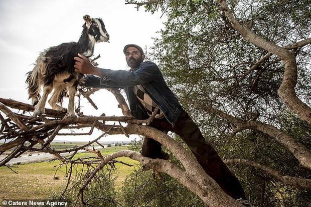 Sự thật đáng buồn phía sau hình ảnh dê biết leo cây thu hút du khách ở Ma-rốc - Ảnh 1.
