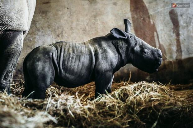 Cận cảnh 2 bé tê giác trắng quý hiếm vừa được sinh ra ở Việt Nam trong thập kỷ qua - Ảnh 9.