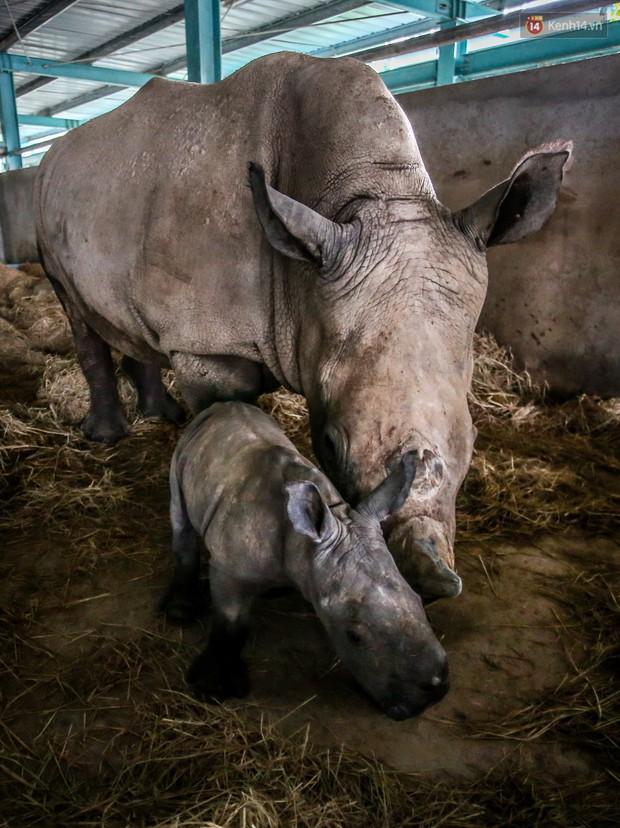 Cận cảnh 2 bé tê giác trắng quý hiếm vừa được sinh ra ở Việt Nam trong thập kỷ qua - Ảnh 7.