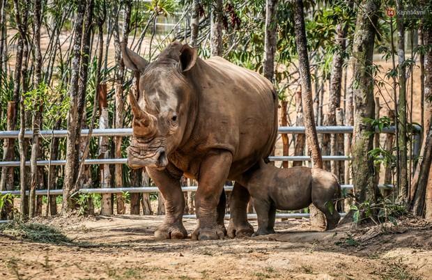 Cận cảnh 2 bé tê giác trắng quý hiếm vừa được sinh ra ở Việt Nam trong thập kỷ qua - Ảnh 5.