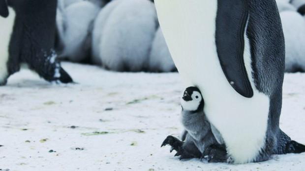Tiếng kêu cứu từ Nam Cực: Hàng ngàn con chim cánh cụt hoàng đế bị xóa sổ vì thực tại khắc nghiệt này - Ảnh 1.