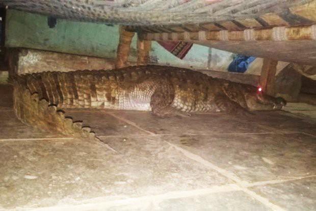 Hoảng hồn cá sấu mang thai nằm dưới gầm giường chờ sinh nở - Ảnh 1.