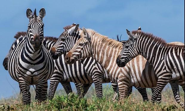 Con ngựa vằn tóc vàng hoe hiếm nhất thế giới lần đầu được lên ảnh và ngay lập tức được khoa học đặc biệt chú ý - Ảnh 1.