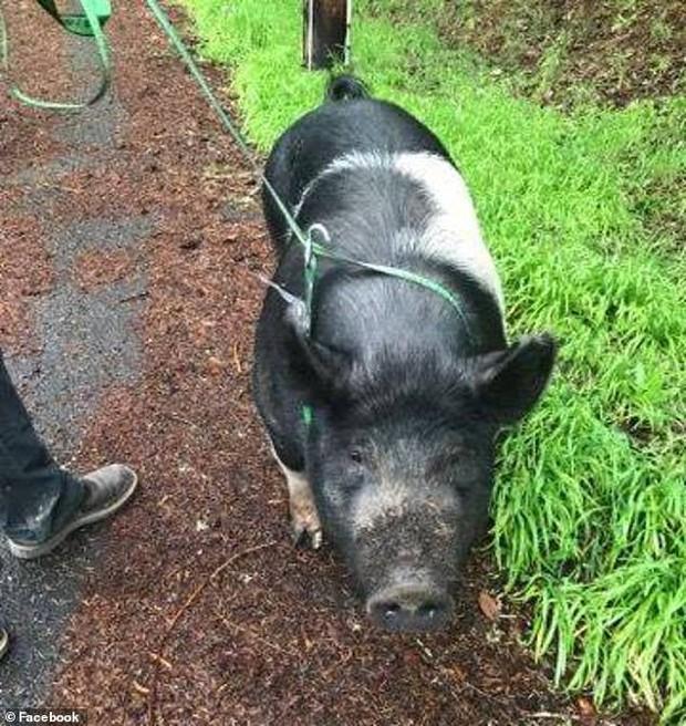 Thấy lợn cảnh tên Công chúa của hàng xóm đi lạc, người đàn ông nhận trông giúp rồi làm thịt ăn luôn - Ảnh 1.