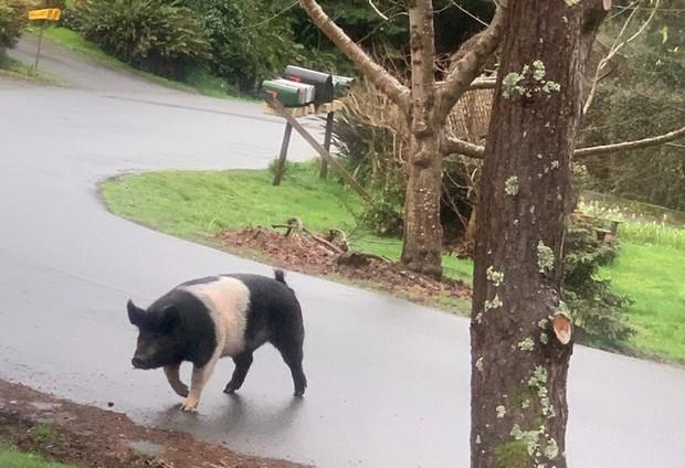 Thấy lợn cảnh tên Công chúa của hàng xóm đi lạc, người đàn ông nhận trông giúp rồi làm thịt ăn luôn - Ảnh 3.