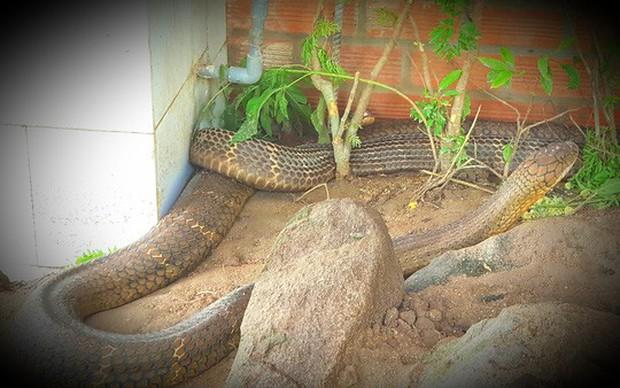 Cận cảnh cặp rắn hổ mây khủng nặng 60kg, dài 7m đầu to bằng nửa cục gạch vừa bắt được ở chân núi Cấm - Ảnh 7.