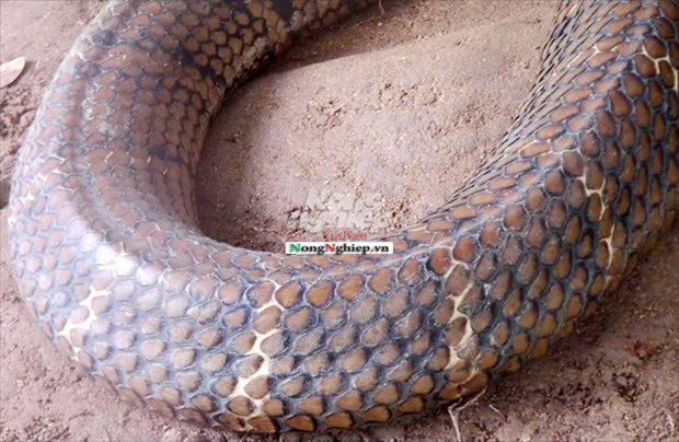 Cận cảnh cặp rắn hổ mây khủng nặng 60kg, dài 7m đầu to bằng nửa cục gạch vừa bắt được ở chân núi Cấm - Ảnh 6.