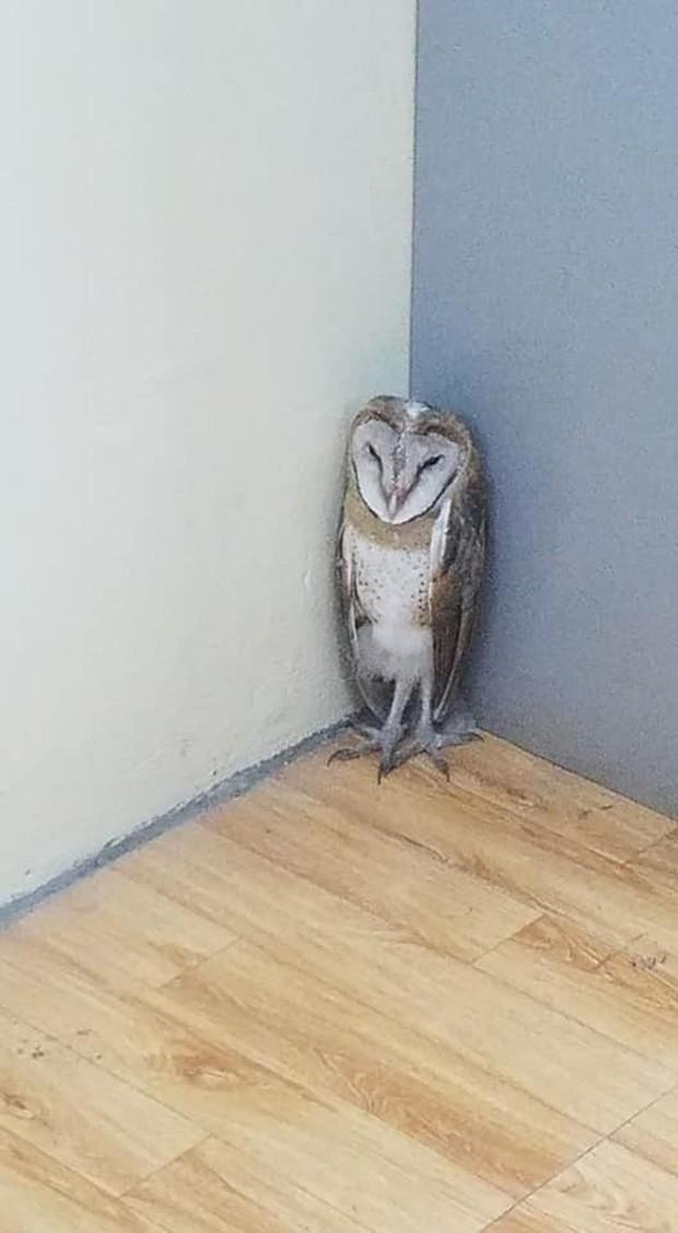 Chim cú lợn bay nhầm vào lớp học: Được phong làm giám thị, thậm chí còn được liên tưởng là thú cưng trong Harry Potter - Ảnh 4.