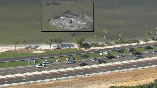 Người dân tụ tập xem lợn biển giao phối tập thể gây tắc nghẽn giao thông cục bộ ở Florida - Ảnh 1.