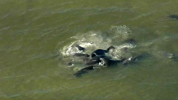 Người dân tụ tập xem lợn biển giao phối tập thể gây tắc nghẽn giao thông cục bộ ở Florida - Ảnh 2.