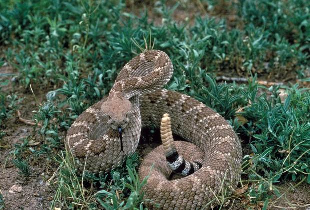 Hơn 1.500 năm trước, có người ăn sống cả con rắn đuôi chuông, đi ngoài ra cái răng nanh dài 11 milimet - Ảnh 1.