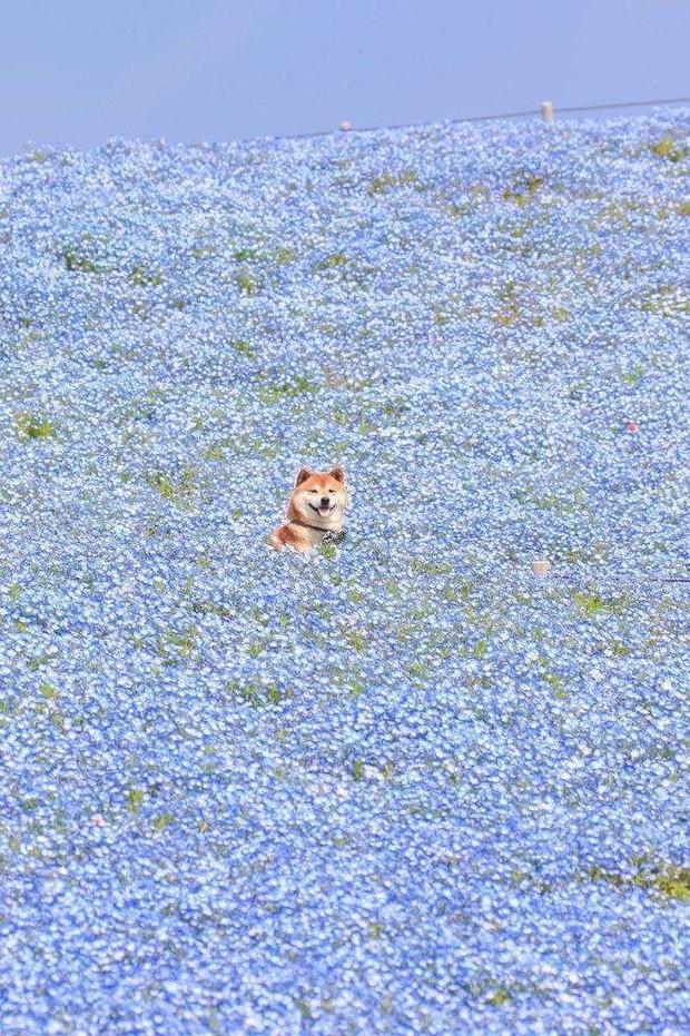 Tan chảy trước hình ảnh dễ thương của chú chó Shiba yêu hoa cỏ - Ảnh 1.