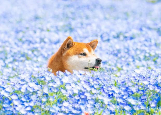 Tan chảy trước hình ảnh dễ thương của chú chó Shiba yêu hoa cỏ - Ảnh 2.