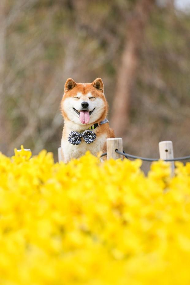Tan chảy trước hình ảnh dễ thương của chú chó Shiba yêu hoa cỏ - Ảnh 11.