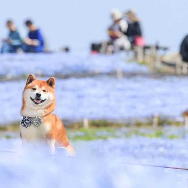 Tan chảy trước hình ảnh dễ thương của chú chó Shiba yêu hoa cỏ - Ảnh 12.