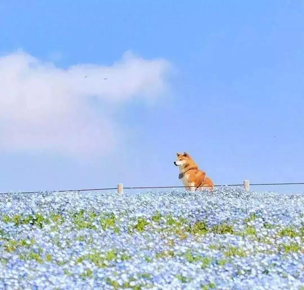 Tan chảy trước hình ảnh dễ thương của chú chó Shiba yêu hoa cỏ - Ảnh 13.
