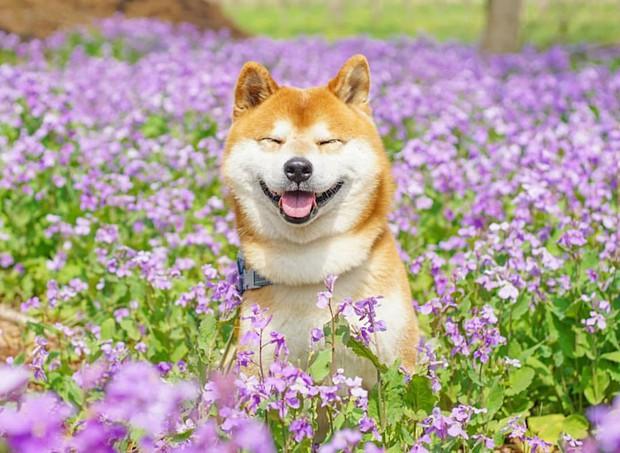 Tan chảy trước hình ảnh dễ thương của chú chó Shiba yêu hoa cỏ - Ảnh 14.