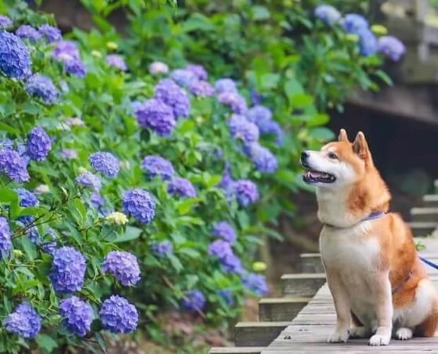 Tan chảy trước hình ảnh dễ thương của chú chó Shiba yêu hoa cỏ - Ảnh 15.