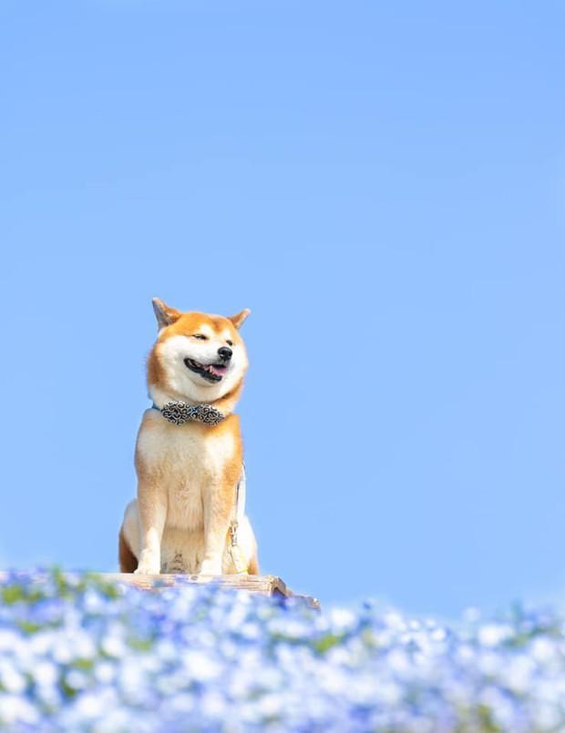 Tan chảy trước hình ảnh dễ thương của chú chó Shiba yêu hoa cỏ - Ảnh 3.