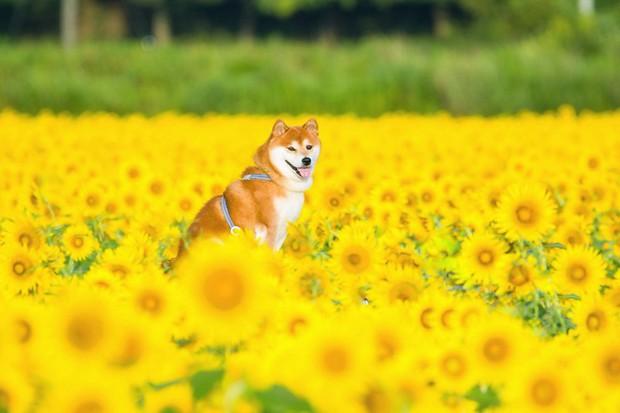 Tan chảy trước hình ảnh dễ thương của chú chó Shiba yêu hoa cỏ - Ảnh 4.