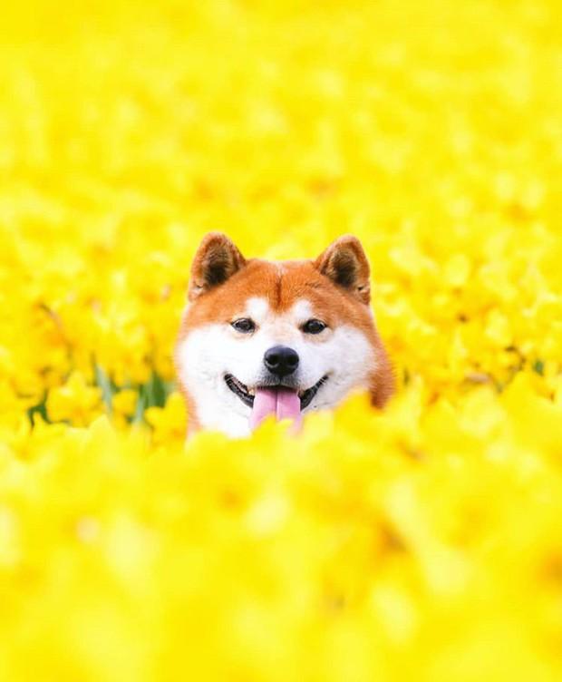 Tan chảy trước hình ảnh dễ thương của chú chó Shiba yêu hoa cỏ - Ảnh 5.
