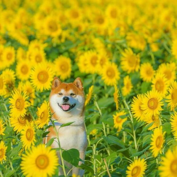 Tan chảy trước hình ảnh dễ thương của chú chó Shiba yêu hoa cỏ - Ảnh 6.