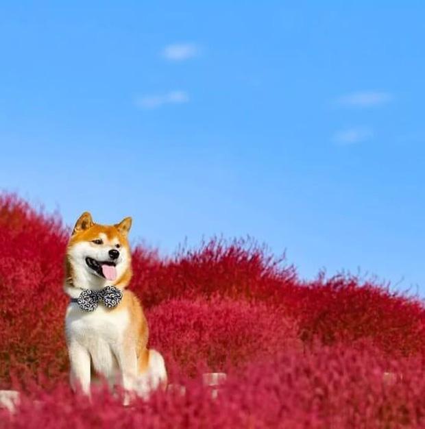 Tan chảy trước hình ảnh dễ thương của chú chó Shiba yêu hoa cỏ - Ảnh 7.