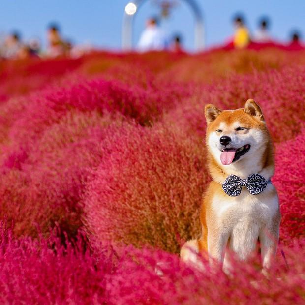 Tan chảy trước hình ảnh dễ thương của chú chó Shiba yêu hoa cỏ - Ảnh 8.