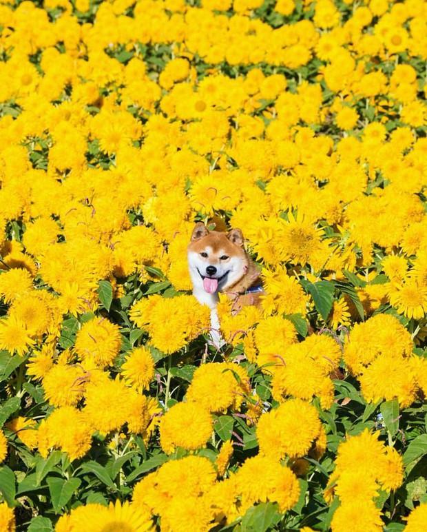 Tan chảy trước hình ảnh dễ thương của chú chó Shiba yêu hoa cỏ - Ảnh 9.