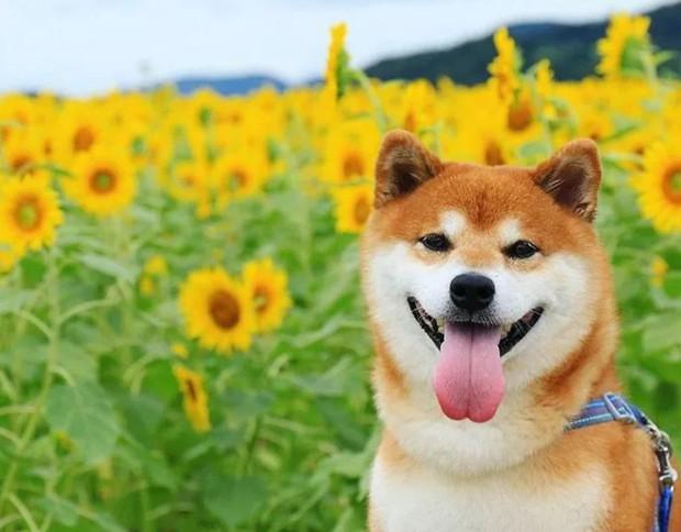 Tan chảy trước hình ảnh dễ thương của chú chó Shiba yêu hoa cỏ - Ảnh 10.