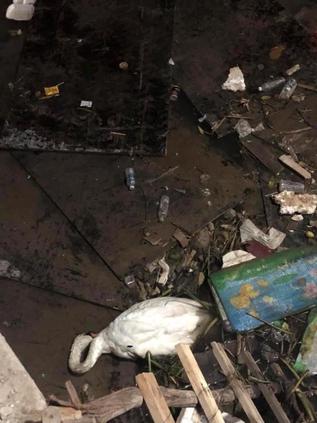 Hải Phòng: Thiên nga trắng dưới sông Tam Bạc vùng vẫy rồi gục giữa bãi rác khiến nhiều người xót xa và phẫn nộ - Ảnh 4.