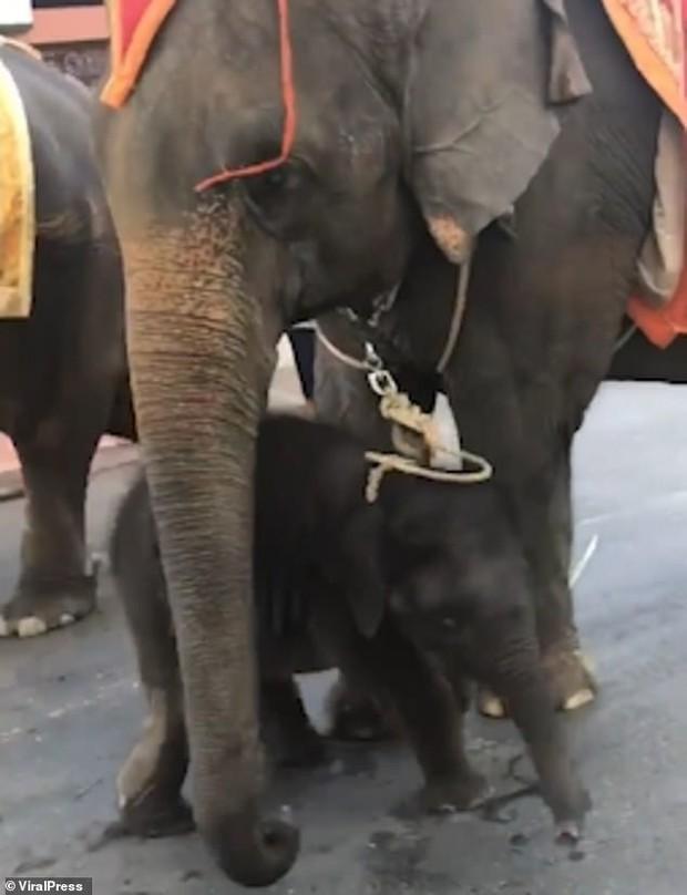Voi con ngã gục vì bị trói chặt vào voi mẹ đang chở khách nhưng gây phẫn nộ nhất là phát ngôn của vườn thú - Ảnh 3.