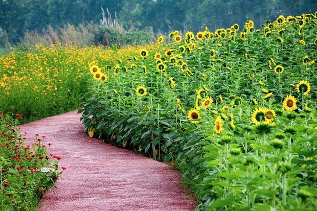 """Lướt mỏi tay loạt ảnh check-in """"thật là vàng tươi"""" của giới trẻ ở vườn hoa hướng dương mới xuất hiện ngay gần Hà Nội, không đi nhanh kẻo phí cả mùa hè - Ảnh 14."""