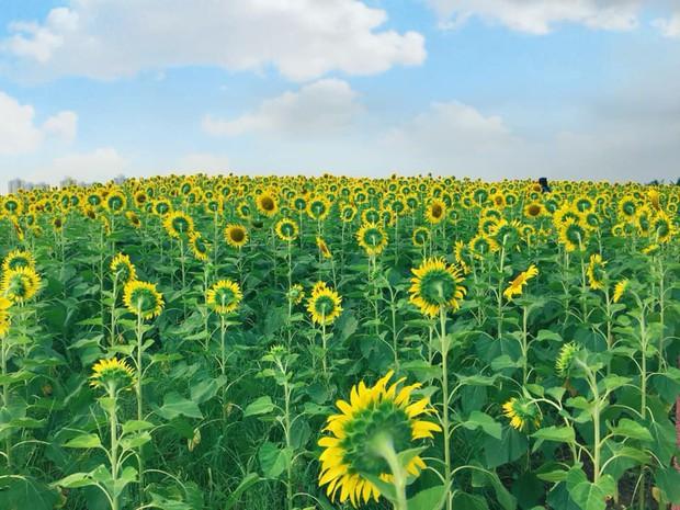 """Lướt mỏi tay loạt ảnh check-in """"thật là vàng tươi"""" của giới trẻ ở vườn hoa hướng dương mới xuất hiện ngay gần Hà Nội, không đi nhanh kẻo phí cả mùa hè - Ảnh 2."""