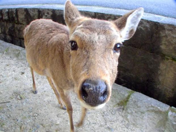 Từ năm ngoái đến nay, 6 con hươu Nara đã chết vì bội thực rác nhựa của du khách - Ảnh 3.
