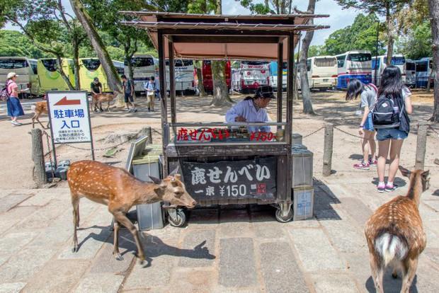 Từ năm ngoái đến nay, 6 con hươu Nara đã chết vì bội thực rác nhựa của du khách - Ảnh 1.