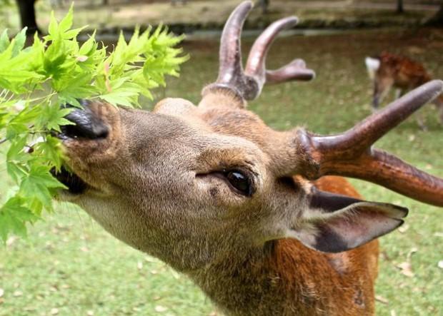 Từ năm ngoái đến nay, 6 con hươu Nara đã chết vì bội thực rác nhựa của du khách - Ảnh 2.