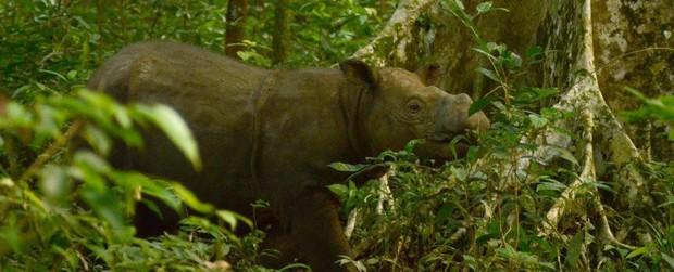 Xác nhận: Loài tê giác 2 sừng tại Malaysia đã chính thức tuyệt chủng - Ảnh 3.
