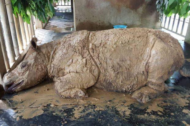 Xác nhận: Loài tê giác 2 sừng tại Malaysia đã chính thức tuyệt chủng - Ảnh 4.