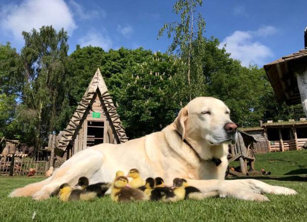 Đáng yêu hết nấc: Vịt mẹ bỏ đi, chú chó hảo tâm cưu mang bầy vịt con, chăm sóc và bơi cùng chúng - Ảnh 3.
