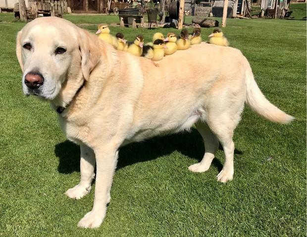 Đáng yêu hết nấc: Vịt mẹ bỏ đi, chú chó hảo tâm cưu mang bầy vịt con, chăm sóc và bơi cùng chúng - Ảnh 2.