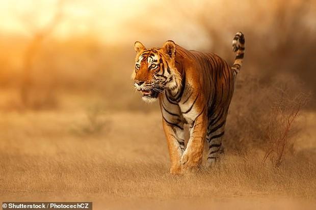 Tại sao lông con hổ có màu đỏ cam cực kỳ nổi bật mà vẫn là hung thần của rừng xanh? Đây chính là câu trả lời - Ảnh 1.