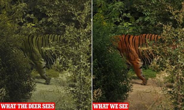 Tại sao lông con hổ có màu đỏ cam cực kỳ nổi bật mà vẫn là hung thần của rừng xanh? Đây chính là câu trả lời - Ảnh 2.