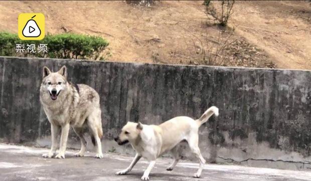 Du khách tức giận khi chỉ thấy độc một con chó nhà trong chuồng sói tại sở thú Trung Quốc - Ảnh 3.